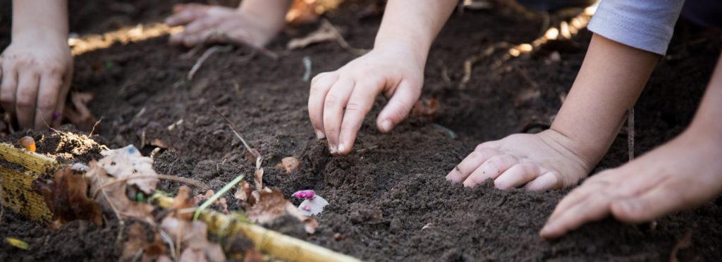 Plantation de pommes de terre à la ferme urbaine